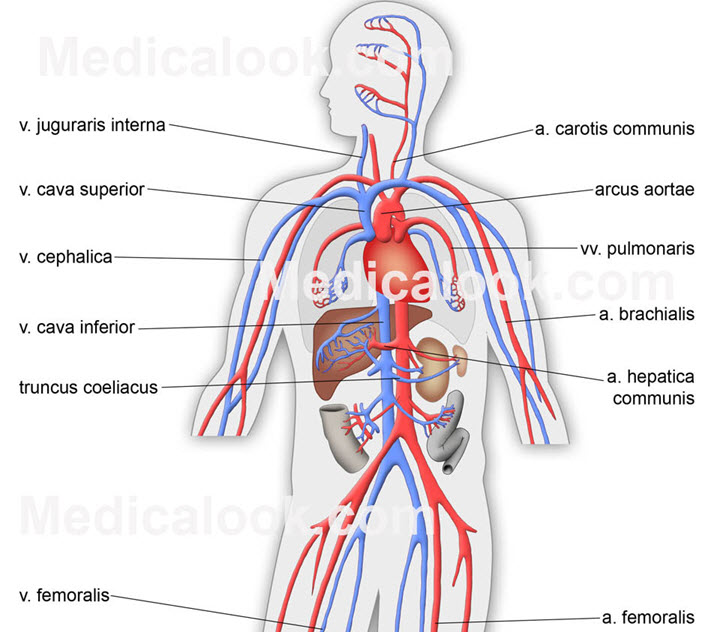 Viral Infection Affects The Vascular System And The Brain