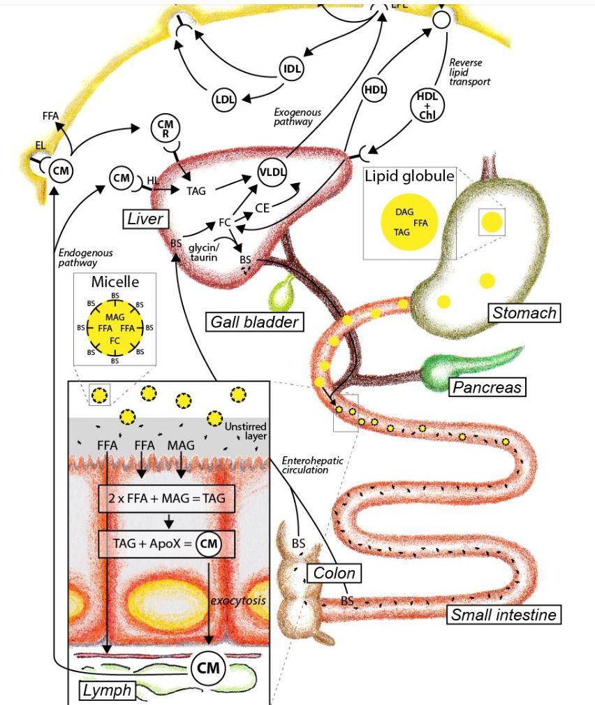 Fat Or Lipid Absorption